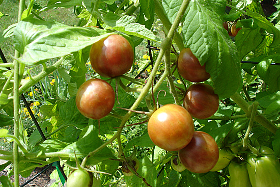 Heirloom Tomatoes 2008 Soupaddict Com