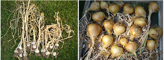 More yummy goodies (softneck garlic, left, and Walla Walla sweet onions) fresh from curing.