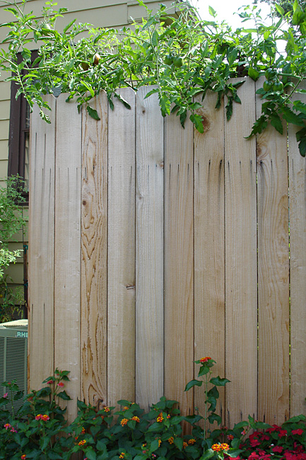 That's a 7-1/2 foot fence those tomatoes are draping over.  Yeowza.