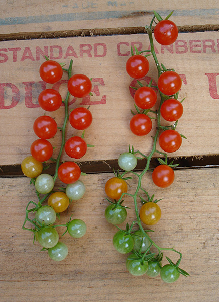 Two trusses of Sweet Pea Currants