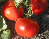 tomatoes_dona_122808