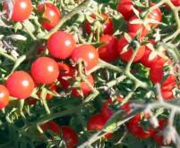 tomatoes_mattswildcherry_122808