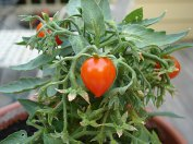 This Tiny Tom Tomato grew happily in a pot all season long.