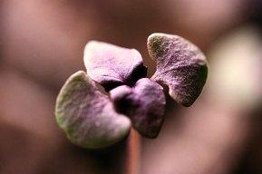 seedlings_red_030409