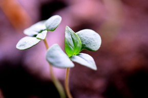 seedlings_sweet_030409