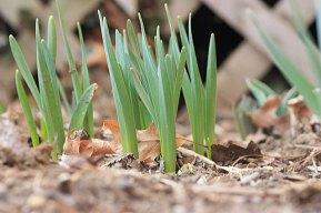 spring_crocus_030709