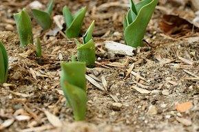 spring_tulips_030709