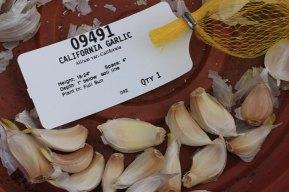 springbeds_garlic2_031509