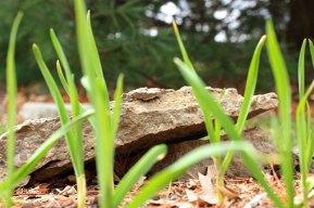 springbeds_garlic_031509