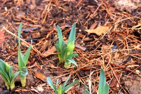 springbeds_narcissus_031509