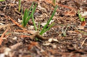 springbeds_shallots_031509