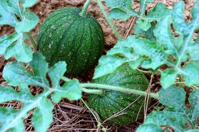Baby watermelons in the Children's Garden