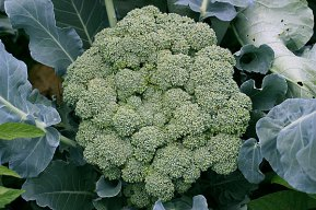 Now *that* is a head of broccoli!
