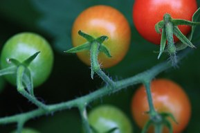 A gorgeous truss of cherry tomatoes