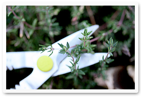 Snipping thyme