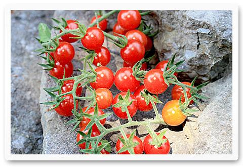 heirloom tomatoes matts wild cherry